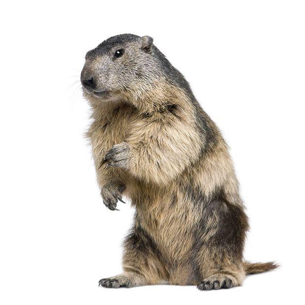 Capture de Marmotte | Guet-Apens Extermination