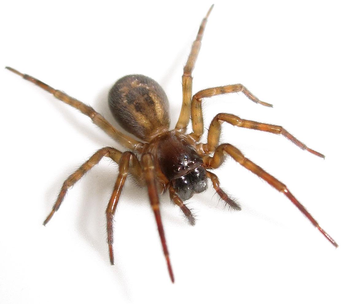 Araignée | Guet-Apens Extermination