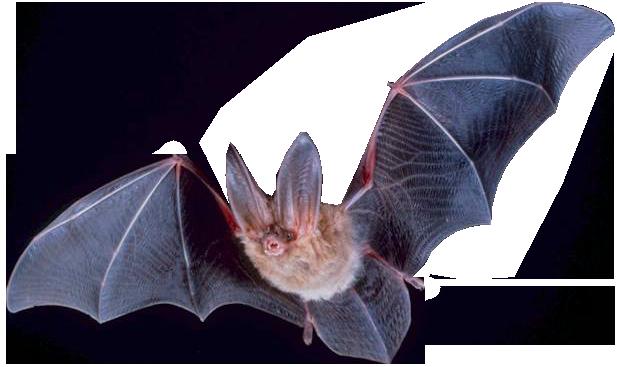 Capture de Chauve-souris | Guet-Apens Extermination