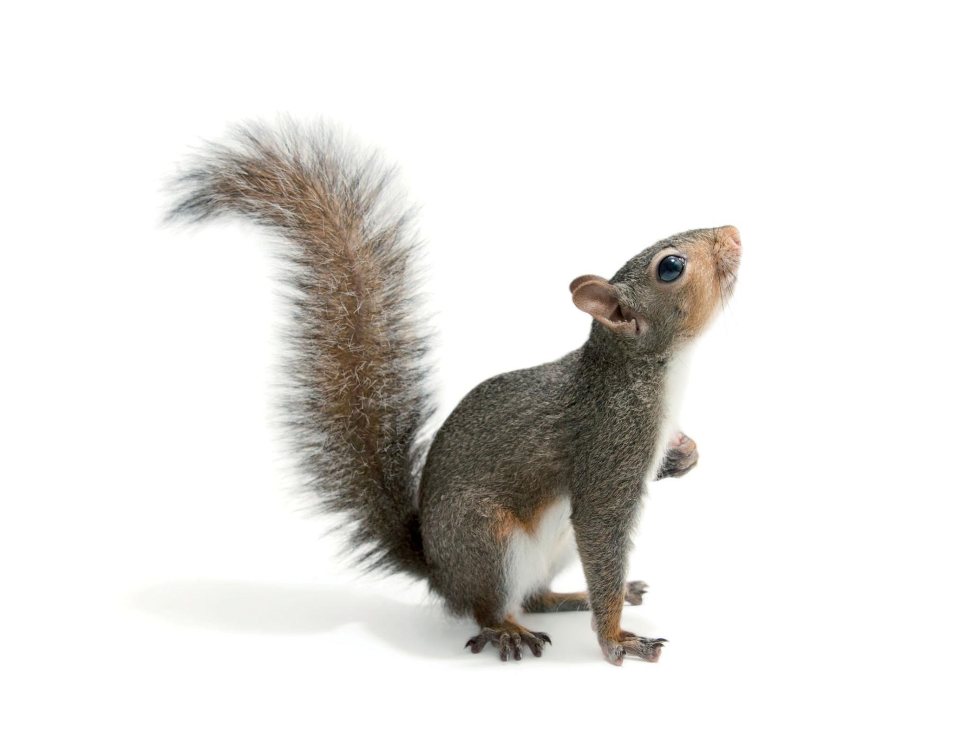 Capture d'écureuil | Guet-Apens Extermination